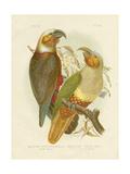 Kaka Parrot, 1891 Reproduction procédé giclée par Gracius Broinowski