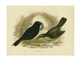 Satin Bowerbird, 1891 Reproduction procédé giclée par Gracius Broinowski