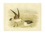White-Faced Storm-Petrel, 1891 Reproduction procédé giclée par Gracius Broinowski