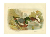 Chestnut-Colored Shieldrake or Australian Shelduck, 1891 Reproduction procédé giclée par Gracius Broinowski