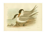 Long-Legged Tern, 1891 Reproduction procédé giclée par Gracius Broinowski