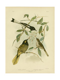 Yellow-Faced Honeyeater, 1891 Reproduction procédé giclée par Gracius Broinowski