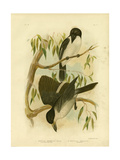 Silverys-Backed Crow-Shrike or Silver-Backed Butcherbird, 1891 Reproduction procédé giclée par Gracius Broinowski