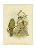 Catbird, 1891 Reproduction procédé giclée par Gracius Broinowski