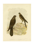 West-Australian Goshawk, 1891 Reproduction procédé giclée par Gracius Broinowski