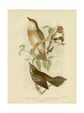 Cinnamon-Colored Cinclosoma or Cinnamon Quail Thrush, 1891 Reproduction procédé giclée par Gracius Broinowski