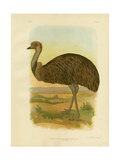 Emu, 1891 Reproduction procédé giclée par Gracius Broinowski