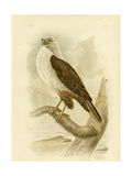 White-Breasted Sea Eagle, 1891 Reproduction procédé giclée par Gracius Broinowski