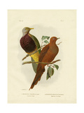 Large-Tailed Pigeon or Brown Pigeon or Brown Cuckoo-Dove, 1891 Reproduction procédé giclée par Gracius Broinowski