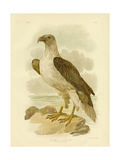 White-Bellied Sea Eagle, 1891 Reproduction procédé giclée par Gracius Broinowski