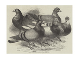 Prize Winners in the Crystal Palace Pigeon Race Reproduction procédé giclée par Harrison William Weir