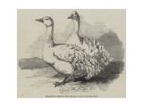 Sebastopol Geese at the Crystal Palace Poultry Show Reproduction procédé giclée par Harrison William Weir