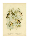 Forty-Spotted Diamondbird or Forty-Spotted Pardalote, 1891 Reproduction procédé giclée par Gracius Broinowski