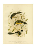 Broad-Billed Flycatcher, 1891 Reproduction procédé giclée par Gracius Broinowski