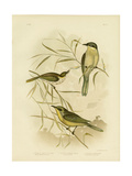 Wattle-Cheeked Honeyeater or Purple-Gaped Honeyeater, 1891 Reproduction procédé giclée par Gracius Broinowski