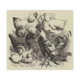 Birmingham Show, Prize Poultry Reproduction procédé giclée par Harrison William Weir