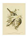 White-Cheeked Honeyeater, 1891 Reproduction procédé giclée par Gracius Broinowski