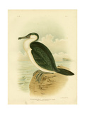 White-Breasted Cormorant, 1891 Reproduction procédé giclée par Gracius Broinowski