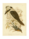 White-Tailed Kingfisher, 1891 Reproduction procédé giclée par Gracius Broinowski