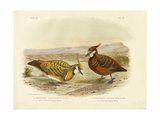 White-Bellied Bronzewing, 1891 Reproduction procédé giclée par Gracius Broinowski