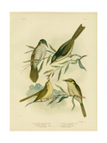Uniform-Coloured Honeyeater or White-Gaped Honeyeater, 1891 Reproduction procédé giclée par Gracius Broinowski