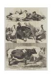 The Poultry and Cattle Show at Birmingham Reproduction procédé giclée par Harrison William Weir