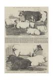 The Smithfield Club Prize Cattle-Show Reproduction procédé giclée par Harrison William Weir