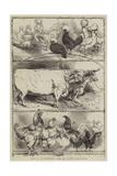 Prizes at the Birmingham Cattle and Poultry Show Reproduction procédé giclée par Harrison William Weir