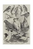 Prize Birds at the Crystal Palace Show Reproduction procédé giclée par Harrison William Weir