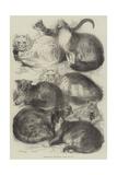 Prize Cats at the Crystal Palace Cat Show Reproduction procédé giclée par Harrison William Weir