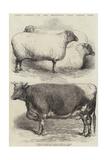 Prize Animals at the Smithfield Club Cattle Show Reproduction procédé giclée par Harrison William Weir