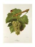 Altesse Grape Lámina giclée por J. Troncy