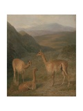 Vicunas, 1831 Giclee Print by Jacques-Laurent Agasse