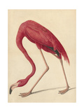 Greater Flamingo, 1838 Giclee Print by John James Audubon