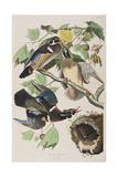 Illustration from 'Birds of America', 1827-38 (Hand-Coloured and Aquatint) Giclée-vedos tekijänä John James Audubon