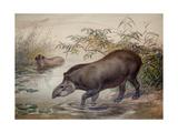 Tapir, 1880 Lámina giclée por Joseph Wolf