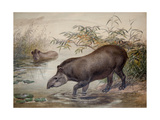 Tapir, 1880 Giclee Print by Joseph Wolf