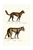 Dingo, 1824 Reproduction procédé giclée par Karl Joseph Brodtmann