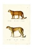 Cougar, 1824 Reproduction procédé giclée par Karl Joseph Brodtmann