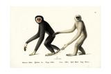 White-Handed Gibbon, 1824 Reproduction procédé giclée par Karl Joseph Brodtmann