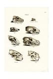 Carnivores Skulls, 1824 Reproduction procédé giclée par Karl Joseph Brodtmann