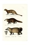 Egyptian Mongoose, 1824 Reproduction procédé giclée par Karl Joseph Brodtmann