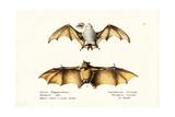 Northern Ghost Bat, 1824 Reproduction procédé giclée par Karl Joseph Brodtmann