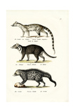 Civet, 1824 Reproduction procédé giclée par Karl Joseph Brodtmann