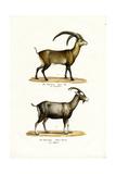 Ibex, 1824 Reproduction procédé giclée par Karl Joseph Brodtmann