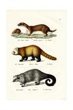 Weasel, 1824 Reproduction procédé giclée par Karl Joseph Brodtmann