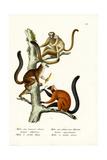 White-Fronted Lemur, 1824 Reproduction procédé giclée par Karl Joseph Brodtmann