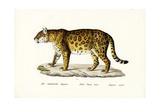 Jaguar, 1824 Reproduction procédé giclée par Karl Joseph Brodtmann