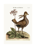 The Heathcock, 1749-73 Impressão giclée por Mark Catesby