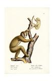 Slender Loris, 1824 Reproduction procédé giclée par Karl Joseph Brodtmann